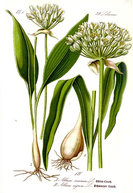 alliumursinumherb